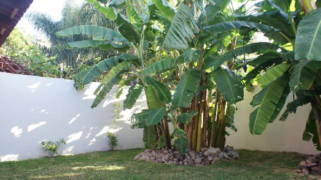 Mature Banana Trees