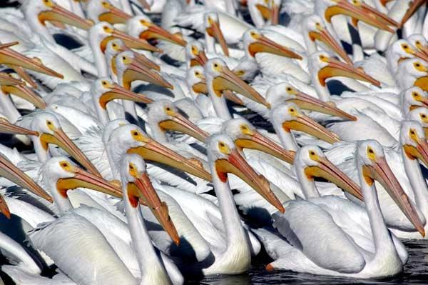 2000 Pelicans Gather Daily in Lake Chapala