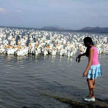 Feeding American White Pelicans at Petatan