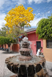 Ajijic Mexico Flowering Tree